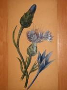 alte Picturi Studiu: albastrele