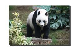 Picturi canvas panda 1