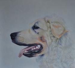 Picturi cu animale Kuvasz