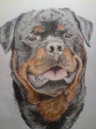 Picturi cu animale Rottweiler