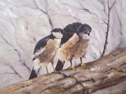 Picturi cu animale 2 soimi