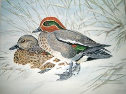 Picturi cu animale Rate iarna