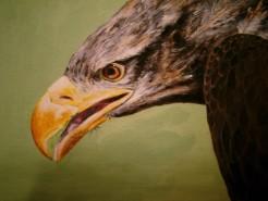 Picturi cu animale Vultur 2