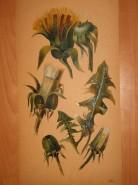 Picturi cu flori Studiu: papadie