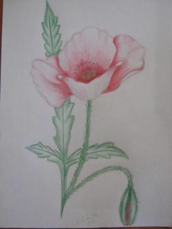 Picturi cu flori Floare de mac.