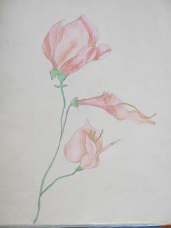 Picturi cu flori Flori in creion 4